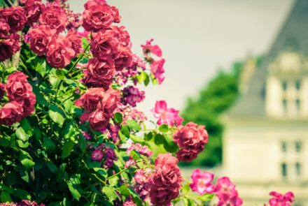 48308194 - bush of beautiful roses in a garden. filtered shot